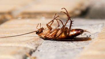 لماذا تكون الحشرات ملتفة على ظهرها عندما تموت لماذا تتقلب الحشرات بعد موتها لماذا نرى جسم الحشرة الميتة بالمقلوب الجهاز العصبي للحشرات